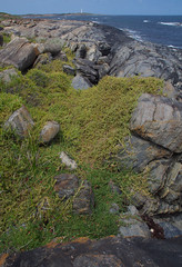 Tetragonia decumbens and Carpobrotus virescens on granite-gneiss, Skippy Rock, near Augusta, WA, 15/02/17 (Russell Cumming) Tags: plant weed tetragonia tetragoniadecumbens carpobrotus carpobrotusvirescens aizoaceae rock granitegneiss skippyrock augusta margaretriver westernaustralia