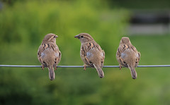 Birds on a wire (Dragan*) Tags: sparrow bird animal three wire string cable green plants park nature outdoor curiosity vrabac springtime