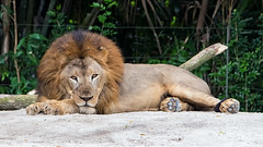 African Lion -5692 (Matty 8o) Tags: singapore outdoor outdoors vacation holiday travel travelling 2016 canon canon700d 700d lens dslr photography photos canon70200mm beautiful 70200 70200mm singaporezoo animals animal african lion white rhino rhinoceros whiterhinoceros asian elephant elephants asianelephant africanlion zoo
