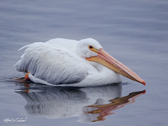 American White Pelican_20A7834 (Alfred J. Lockwood Photography) Tags: alfredjlockwood nature wildlife bird americanwhitepelican portrait water whiterocklake autumn dallas texas morning overcast reflection