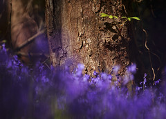 Chestnut Tree in a Sea of Bluebells (shawn›raisin d+p) Tags: aberystwyth canon6d ceredigion penglaisnaturepark plant shawnwhite uk wales blue bluebells bokeh chestnut floral flower forest leaf leaves purple spring tele telephoto tree trees wood woodland woods cymru unitedkingdom gb