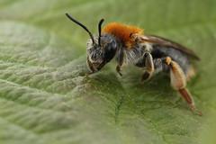 Roodgatje - Andrena haemorrhoa - Orange-tailed Mining-bee (merijnloeve) Tags: andrena macro pijnacker zuidholland bee bij bijen bees insect bug closeup close up roodgatje haemorrhoa orangetailed miningbee