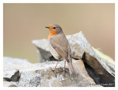 B57I1812-Robin,-Erithacus-rubecula (duncancooke.happydayz) Tags: robin birds bird birdperfect hay bridge uk amazingwildlifephotography wildlife canonef300mmf28lisusm