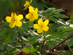 IMG_5595 (germancute) Tags: nature outdoor wildflower flower blume wald wiese plant leaf blossom blätter bloom