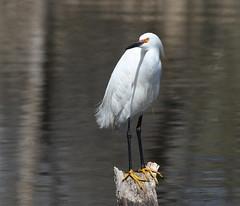 Snowy Egret (fethers1) Tags: belmarparklake belmarpark bird coloradowildlife snowyegret