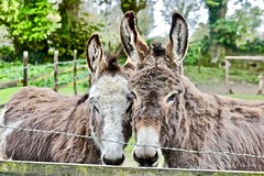 togetherness (ggcphoto) Tags: fencedfriday donkey animals horse outdoor fence family ireland applefarm clonmel cahir cotipperary orchard