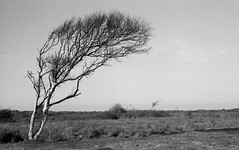 / (Johuhe) Tags: birch tree dunes wind swept leica m2 summaron kodak tmax 100 xtol epson v500