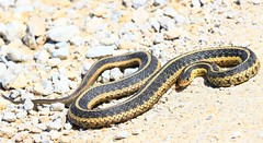 common (eastern) garter snake near Bigalk Creek IA 854A9840 (lreis_naturalist) Tags: eastern garter snake bigalks creek winneshiek county iowa larry reis common