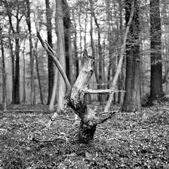 (salparadise666) Tags: mamiya c330 sekor 80mm fuji neopan acros 100400 caffenol cl semistand 36min nils volkmer vintage camera 6x6 medium format wood tree bw monochrome hannover niedersachsen germany calenberger land contrast square