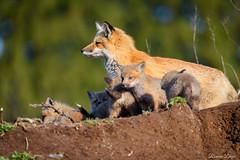 DRL-RLD_0101 (romain-dreux-photo) Tags: redfox vulpesvulpes babys nature canada eyes renard
