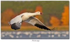 Oie des neiges /Snow Goose  IMG_0829 (salmo52) Tags: birds oiseaux victoriaville snowgoose chencaerulescens oiedesneiges réservoirbeaudet salmo52 alaincharette