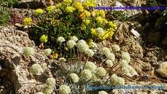 100_0936 (sierrarainshadow) Tags: eriogonum umbellatum var ovalifolium nivale porteri