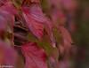 Herbstrot (glasperle67) Tags: rot laub herbst blatt wein