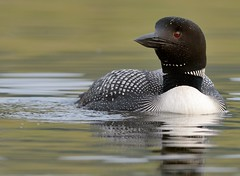 Common Loon .....all dressed up (canuck4everr) Tags: