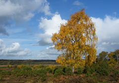 New Forest NP, Hampshire, England (east med wanderer) Tags: autumn england tree hampshire newforest lyndhurst silverbirch betulapendula newforestnationalpark