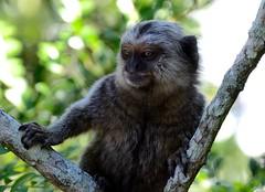 DSC_0450_301Brasile (silviasalvi) Tags: animals animali brasile foresta silviasalvi
