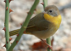 Geothlypis trichas (altano) Tags: male immature commonyellowthroat geothlypistrichas