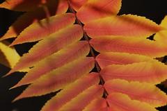 glowing sumac (hennessy.barb) Tags: autumn orange fall leaves sumac foliage glowing