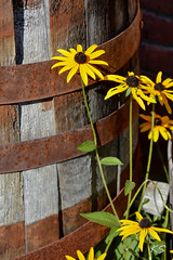 Fall Flowers (Kate Sellig) Tags: autumn flower fall nature barrel blackeyedsusans