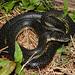 Lampropeltis getula holbrookii (Speckled Kingsnake)