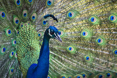 Peacock in all its splendor (Wamathaga) Tags: africa bird kenya peacock fowl peafowl