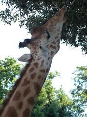 Girafe de Kordofan (lesloisirsdepat) Tags: zoo animaux girafe vende zoodessables