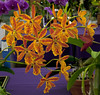 Epicattleya Volcano Trick (DonCrain) Tags: flowers plants orchid cattleya epidendrum horticulture epicattleya