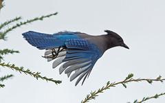 Steller's Jay (nickinthegarden) Tags: canada bc westvancouver stellersjay cyanocittastelleri cypressmountainpark