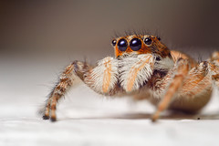 Jumping spider (tomikukac) Tags: macro closeup lens spider jumping arachnid magenta explore 24mm reversed arthropod macrophotography salticidae