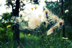 Shout (h.anderle) Tags: plants macro green nature grass forest garden weeds woods natural bokeh grow naturallight dandelion seeds imagination upclose emotive naturewalk thelittlethings throughmyeyes