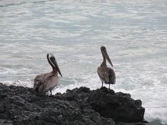 Galápagos - Isabela-50