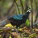 Palawan Peacock-Pheasant - Palawan - Philippines_H8O0751
