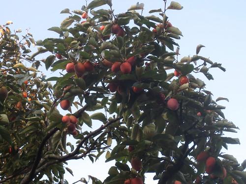見上げるほどの柿の木