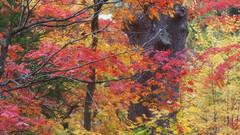 This Could be Heaven (jasohill) Tags: city autumn color nature japan photography   tohoku hachimantai 2014 jasohill
