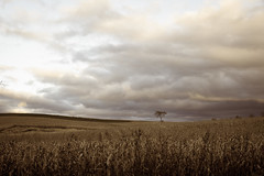 Lone tree and corn at sunset (Citizen 4474) Tags: autumn sky plants tree fall field wisconsin clouds rural canon season landscapes corn midwest warm alone moody farm horizon crop lone agriculture solitary subjects stalks eauclaire 60d