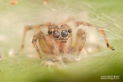 Jumping spider's nest (Euryattus sp.) - DSC_6606 (nickybay) Tags: macro spider jumping singapore babies nest spiderlings salticidae pengi euryattus mandaitrack7