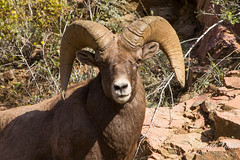A good looking bighorn ram.