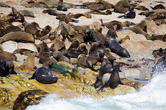 Cape Fur Seals (rpgold) Tags: africa travel hermanus southafrica gold seals 2014 furseals capefurseals whalecoast canonef100400mmf4556lis 5dmarkii canon5dmark2 rachellepaul rpgold 5dmark2 canon5dmarkii