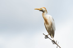 Cattle Egret (Bubulcus ibis) perched on the end of a branch (Dave Montreuil) Tags: africa bird standing adult african fulllength nobody dirty mangrove westafrica perch gambia perched senegal rough egret capepoint muddy scavenger frontview thegambia cattleegret perching bubulcusibis thegambiawestafrica onebird leastconcern