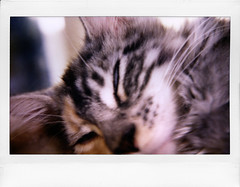 Dreaming of Mice (polapix) Tags: cat mainecoon arabella fujifilm explored roidweek instax500af instaxwide