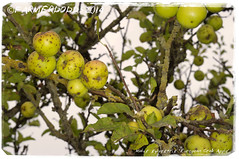 Malus sylvestris 'European Crab Apple' (farmer dodds) Tags: tree apple fruit herb crabapple codurham malus rosaceae malussylvestris europeancrabapple