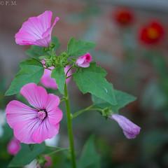 DSCF5656 (Patrick Mouret) Tags: flowers summicronm50mmf2 fujixpro1