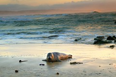 sea seascape nature landscape coast cornwall wildlife seal britishwildlife gwithian hayle