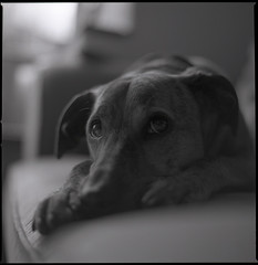 (Bazzerio) Tags: family portrait blackandwhite dog pet film mediumformat puppy square kodak tmax ishootfilm hasselblad 400 medium format doggy leela fmaily 501c aninal bazzerio