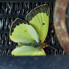 Common Sulphur in my car grill (annkelliott) Tags: canada nature yellow butterfly insect dead lumix explore alberta commonsulphur interestingness205 thebadlands annkelliott anneelliott neardrumheller fz200 neofcalgary inmycargrill explore2014october04