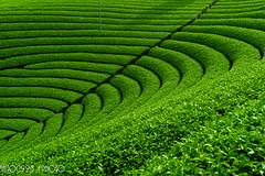 Tea plantation (saito0923) Tags: carlzeiss kyoto landscape japan plant summer singlefocuslens distagont1435 camera leaf distagon3514zf carlzeissdistagont1435zf2 location nikondf lens teaplantation