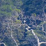 King Vulture - Manu NP - Perù_9235 thumbnail