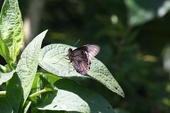 Borboleta (IV) (Vagner Eifler) Tags: animal brasil natureza portoalegre borboleta animais riograndedosul belémnovo