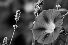 Morning Glories & Lavender Through a Long Lens 2 (LongInt57) Tags: morning flowers girls bw woman white canada black nude grey mono petals women bc okanagan glory blossoms gray models lavender teens seeds stamens pistil kelowna pollen blooms seedheads glories stigmas