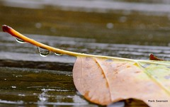 Rainy Day - Explore (mswan777) Tags: autumn trees color fall nature leaves rain weather leaf drops nikon michigan scenic d5100